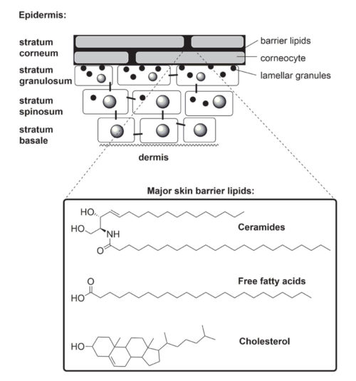 img-article-8-Ceramides-in-the-skin-barrier-